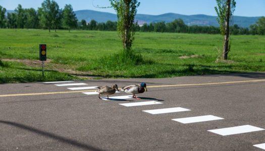 За непропуск пешехода водителя привлекут к ответственности